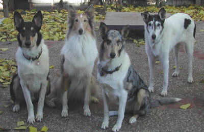 Many collies carry a gene causing ivermectin sensitivity.  the same for dogs with<br /> only one collie parent, and for various types of collies, including border collies.
